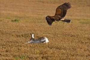 A hawk hunting its prey