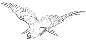A hawk swooping